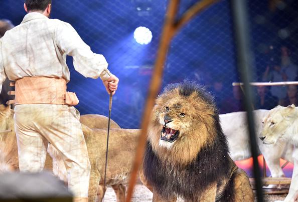 "Lion - Feline「""MANDANA - Ciruskunst neu getraeumt!"" Circus Krone Tour Program Premiere」:写真・画像(14)[壁紙.com]"