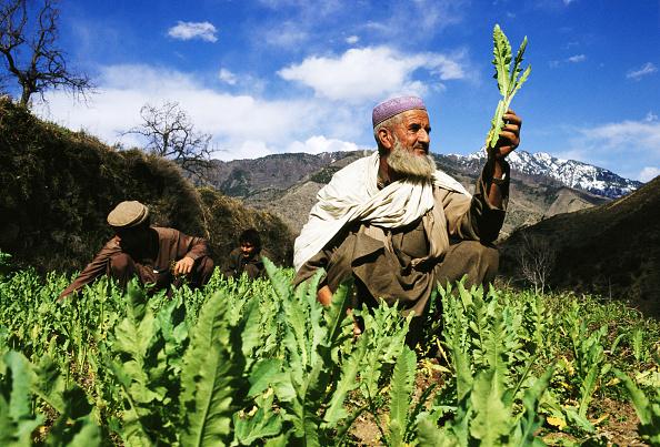 Indian Subcontinent Ethnicity「Pakistan Poppies」:写真・画像(6)[壁紙.com]