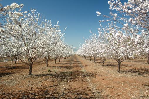 Grove「blooming almond trees」:スマホ壁紙(10)