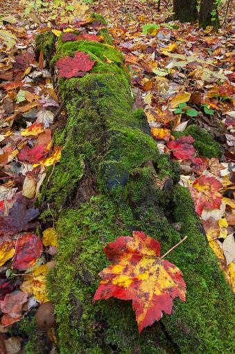 サトウカエデ「A ground level view of a moss covered log and fallen Sugar Maple leaves (acer saccharum) at Southbranch, Baxter State Park, Maine, USA」:スマホ壁紙(10)