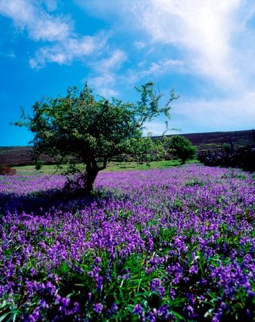 Hawthorn「Bluebells & Whitethorn Tree, Borris, Co Carlow, Ireland」:スマホ壁紙(17)