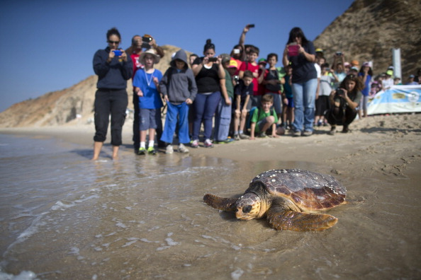 Green Turtle「Sea Turtles Freed Back To Nature」:写真・画像(16)[壁紙.com]