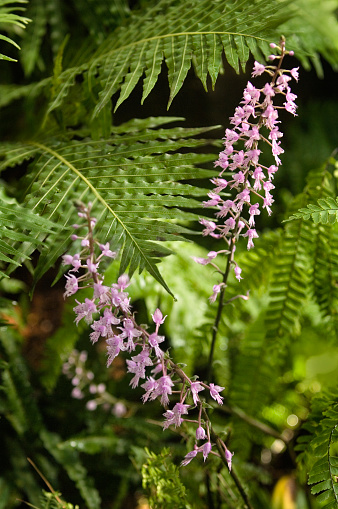 Inflorescence「Stenoglottis longifolia Orchid Flower Spikes」:スマホ壁紙(19)