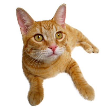 Mixed-Breed Cat「Orange Cat」:スマホ壁紙(14)