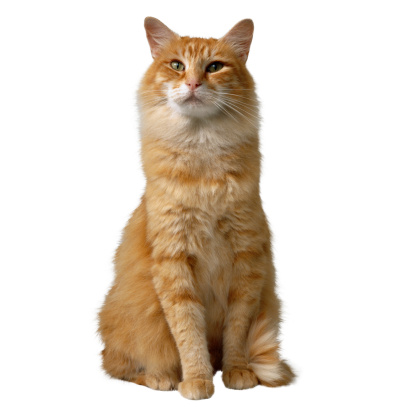 Mixed-Breed Cat「Orange Cat」:スマホ壁紙(16)