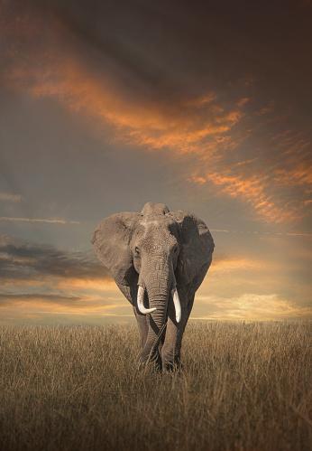 Walking「Elephant grazing in savanna field」:スマホ壁紙(6)