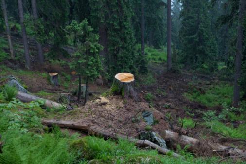 Deforestation「tree stump in beautiful looking forest」:スマホ壁紙(7)