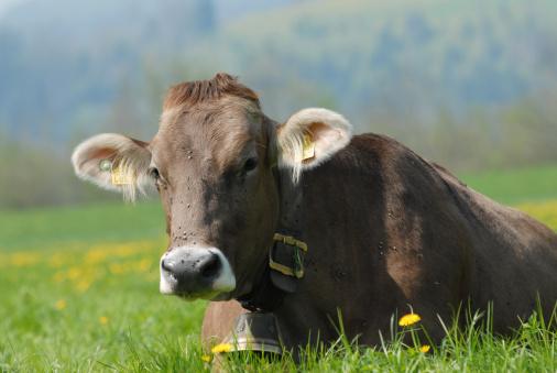 Belt「Lying Brown-Swiss on meadow」:スマホ壁紙(8)