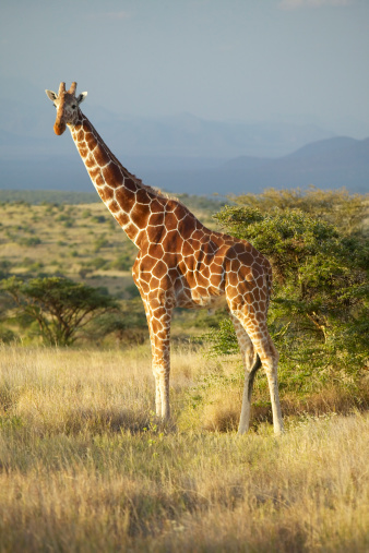 Giraffe「Kenya, Lewa Conservancy, Giraffe on savannah」:スマホ壁紙(5)