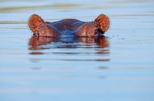 カバ「Lone Hippopotamus (Hippopotamus amphibius) peering above the water surface. Okavango Delta, Botswana, Africa」:スマホ壁紙(17)