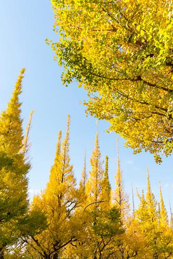 Meiji Jingu Gaien「The sun illuminates the autumn leaves ginkgo trees, which stand along the both side of the Ginkgo Tree Avenue at Jingu Gaien, Chhiyoda Ward, Tokyo Japan on November 17 2017.」:スマホ壁紙(7)