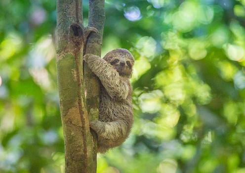 Three-toed Sloth「Baby Three-toed Tree Sloth, Costa Rica」:スマホ壁紙(9)