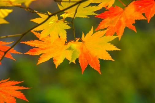 紅葉「Autumnal fullmoon maple leaves. Aomori Prefecture, Japan」:スマホ壁紙(12)