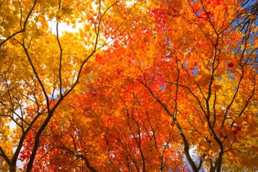 紅葉「Autumnal fullmoon maple trees. Towada, Aomori Prefecture, Japan」:スマホ壁紙(5)