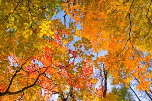 紅葉「Autumnal fullmoon maple trees. Aomori Prefecture, Japan」:スマホ壁紙(11)