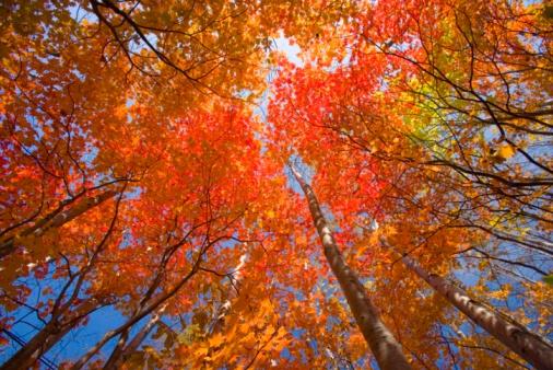 紅葉「Autumnal fullmoon maple trees. Hachimantai, Iwate Prefecture, Japan」:スマホ壁紙(18)