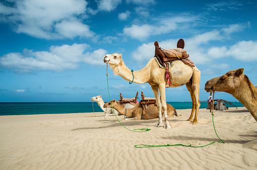 Saddle「Camels On The Beach Of Boa Vista, Cape Verde」:スマホ壁紙(8)