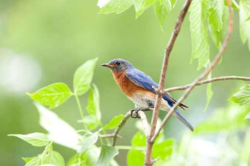 Males「Male Bluebird Sitting on a Branch in Nature」:スマホ壁紙(2)