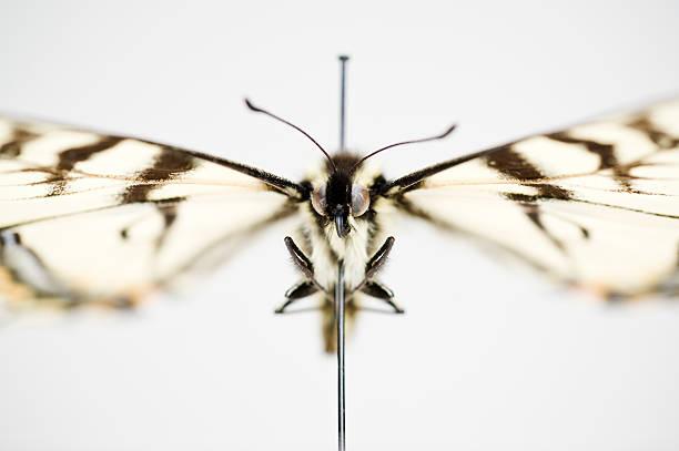 Swallowtail butterfly preserved on a pin:スマホ壁紙(壁紙.com)