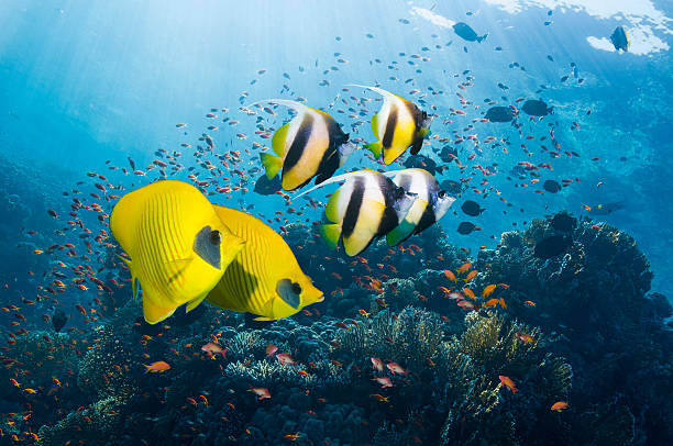 Bannerfish and butterflyfish:スマホ壁紙(壁紙.com)