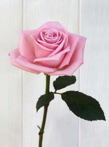Girly「Beautiful hybrid pink rose and leaf on white」:スマホ壁紙(7)