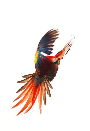 Central America「Scarlet McCaw, Costa Rica」:スマホ壁紙(1)