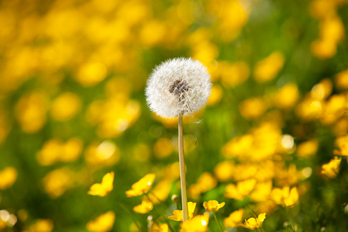 たんぽぽ「Blowball on buttercup meadow」:スマホ壁紙(0)