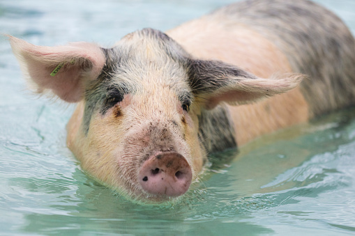Unrecognizable Person「Swimming feral pigs of Exuma, on the Bahamian uninhabited Pig Island.」:スマホ壁紙(17)