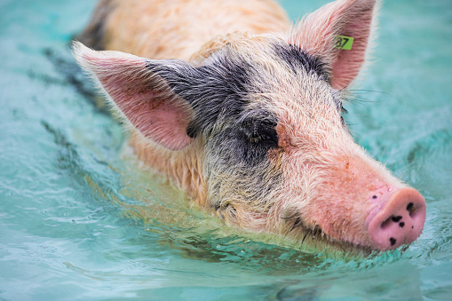 Unrecognizable Person「Swimming feral pigs of Exuma, on the Bahamian uninhabited Pig Island.」:スマホ壁紙(12)