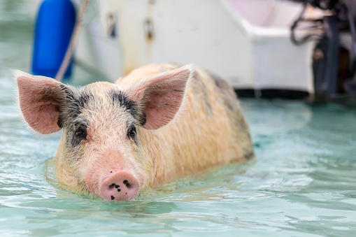 Unrecognizable Person「Swimming feral pigs of Exuma, on the Bahamian uninhabited Pig Island.」:スマホ壁紙(15)