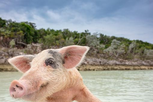 朗らか「スイミング Exuma バハマ無人島豚島の野生のブタ。」:スマホ壁紙(14)