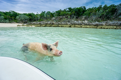 Unrecognizable Person「Swimming feral pig of Exuma, on the Bahamian uninhabited Pig Island.」:スマホ壁紙(11)