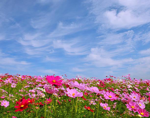 Sky and Cosmos Flowers:スマホ壁紙(壁紙.com)
