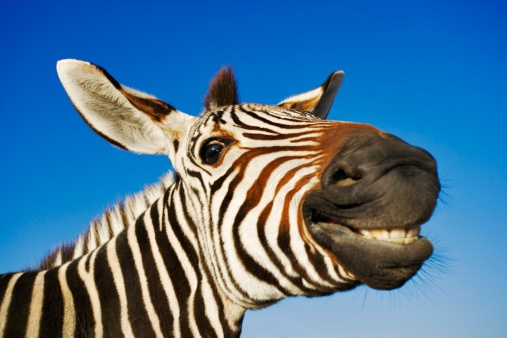 Laughing「Zebra (Equus burchelli) Smiling at Camera」:スマホ壁紙(19)