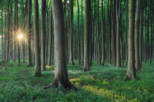 ������「Forest with sunbeams at backlight, sunrise.」:スマホ壁紙(5)