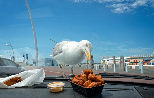 Seagull「Seagull looking at fried fish」:スマホ壁紙(1)