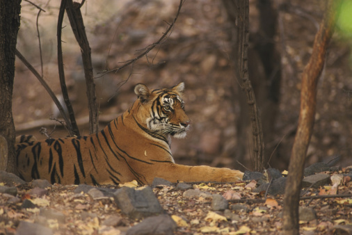 虎「tiger panthera tigris lying in woodland ranthambhor, india」:スマホ壁紙(15)