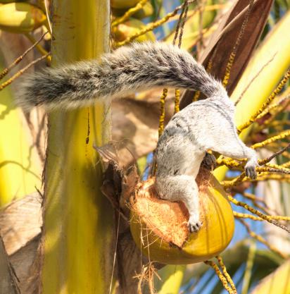 リス「Mexican Gray Squirrel (Sciurus aureogaster) eating coconut」:スマホ壁紙(4)