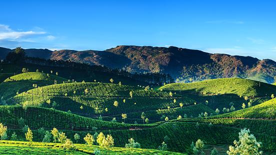 Rajasthan「Tea plantation in Southern India」:スマホ壁紙(17)