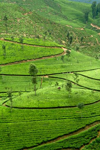 Sri Lanka「Tea Plantation , Nuwara Eliya , Sri Lanka」:スマホ壁紙(13)
