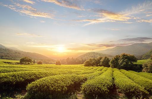 Farm「tea plantations」:スマホ壁紙(12)