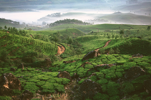 Sri Lanka「Tea plantation in Munnar, Kerala」:スマホ壁紙(15)