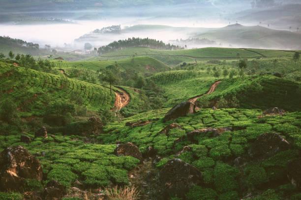 Tea plantation in Munnar, Kerala:スマホ壁紙(壁紙.com)