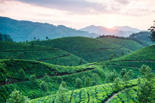 Rolling Landscape「Tea plantation at sunset, Kerala, India」:スマホ壁紙(17)