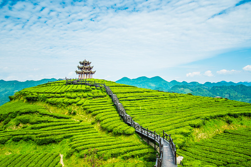Temple「Tea plantations」:スマホ壁紙(10)