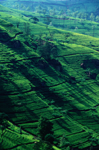 Sri Lanka「Tea Plantation in Sri Lanka」:スマホ壁紙(4)