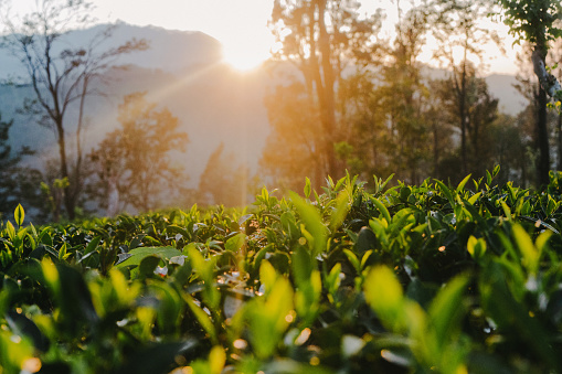 Sri Lanka「Tea plantation in Sri Lanka」:スマホ壁紙(3)