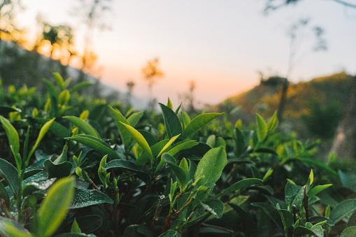 Sri Lanka「Tea plantation in Sri Lanka」:スマホ壁紙(16)