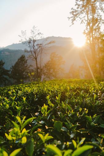 Sri Lanka「Tea plantation in Sri Lanka」:スマホ壁紙(8)