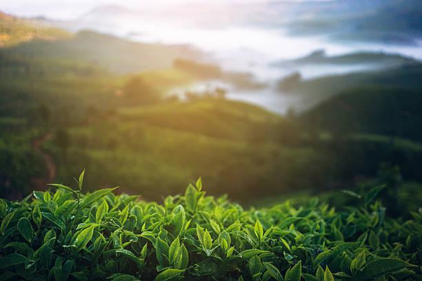 茶葉プランテーションインド:スマホ壁紙(壁紙.com)